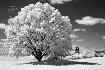Eiche, oak tree, landscape, Landschaft, Hochsitz, hunting stand, Infrarot, Holger Nimtz, Infrared, Fotografie, Photography, Infrarotaufnahme, IR,