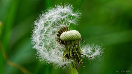 Nahaufnahme eines Löwenzahns mit Samen vor einer Wiese