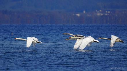Fünf Schwäne fliegen über den Bodensee