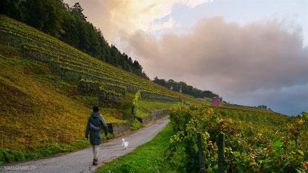 Herbstliche Reben im Rheintal bei Balgach und rotes Rebhaus