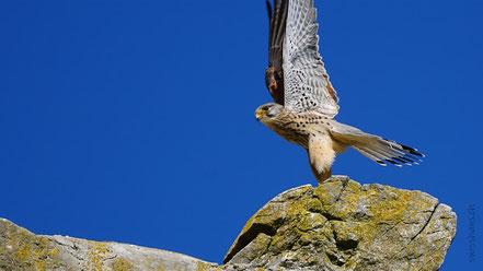 Turmfalke steht auf grossem Stein vor blauem Himmel
