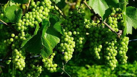 Viele grüne Trauben hängen an den Rebstöcken von Balgach