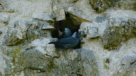 Zwei Dohlen nisten in einem Loch in der Mauer der Burg Blatten bei Oberriet