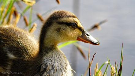 Portrait einer jungen Ente im Gäbrisseeli