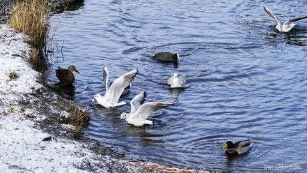 Enten und Möven im alten Rhein