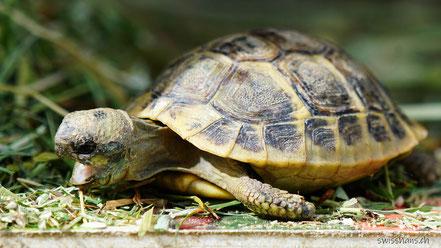 Junge Schildkröte beim Fressen