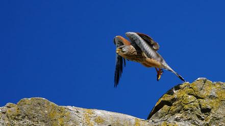 Turmfalke im Flug über einem Stein vor blauem Himmel