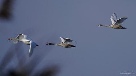 Drei fliegende Schwäne über dem Bodensee