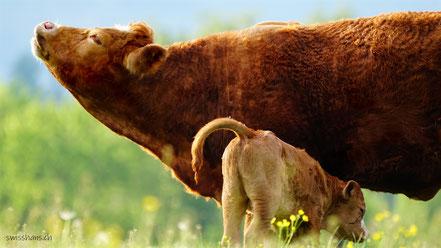 Mutterkuh mit ihrem Kalb auf der Wiese