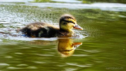 Junge Ente schwimmt im Gäbrisseeli