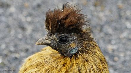 Portrait eines kleinen Huhn s
