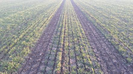 Weizenbestand nach der Einbringung von Gülle in den Boden.