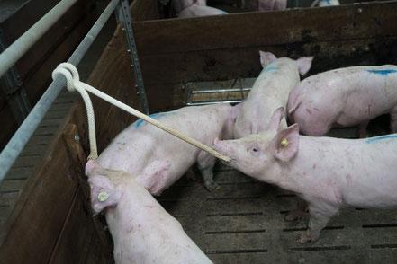 Spielende Schweine am Bauwollseil.