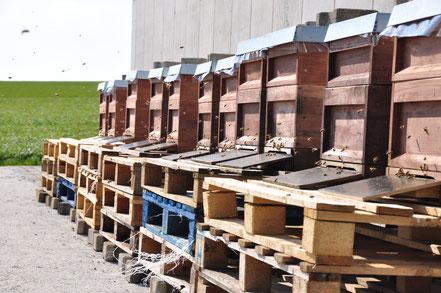 Ein Teil des Bienenstandes an der Maschinenhalle auf dem Borchelhof.
