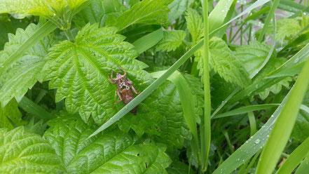 Пустой чехол из-под личинки стрекозы