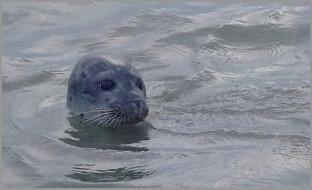 Seehund im Wattfahrwasser