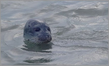 Seehunde im Wattfahrwasser