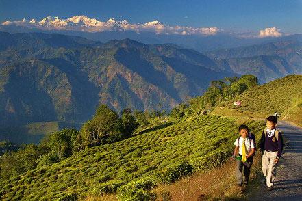 Le cicuit Darjeeling et le Sikkim vous entraîne au pied de l'Himalaya. Circuit nature et culture. Ici deux enfants empruntent le chemin de l'école à travers les plantation de thé. En arriere-plan, les sommets enneigés de l'Himalaya.