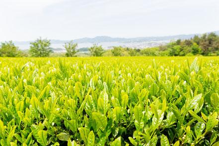 有機茶 有機栽培 宝箱