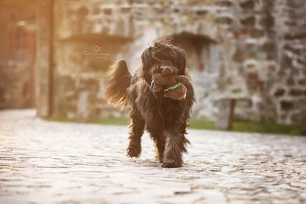 Lüdinghausen_Katalanischer Schäferhund_Portrait_Hund_Fotografin Julia Neubauer