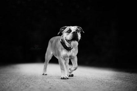 Englische Bulldogge-Ascheberg_Schloß Westerwinkel_Hund_Fotografin