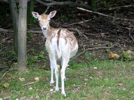 MAG Lifestyle Magazin Tierfoto Tierfotos Bilder Fotos Tiere Damwild Rehe Bambi
