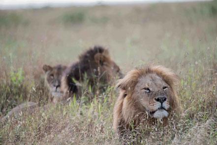 MAG Lifestyle Magazin Reisen Urlaub Luxus Fernreisen Afrika Kenia Governors Camp Collection Mugie House luxuriöse Gästehäuser Safari Masai Mara