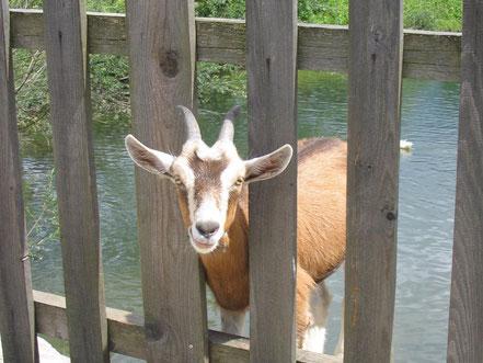 MAG Lifestyle Magazin Tierfoto Tierfotos Bilder Fotos Tiere Ziege Ziegen