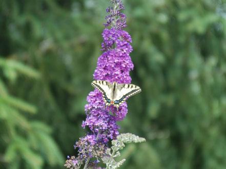 MAG Lifestyle Magazin Tierfoto Tierfotos Bilder Fotos Tiere Schmetterling Schmetterlinge