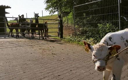 Alpaka, Lama, Alpakas, Kuh, Rind, Kälbchen, Bauernhof, Erlebnisbauernhof, Herde, neugierig,