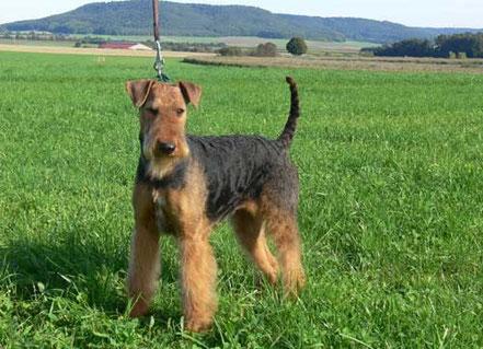 Airedale Terrier vom Juratal, Anica-Romi vom Juratal