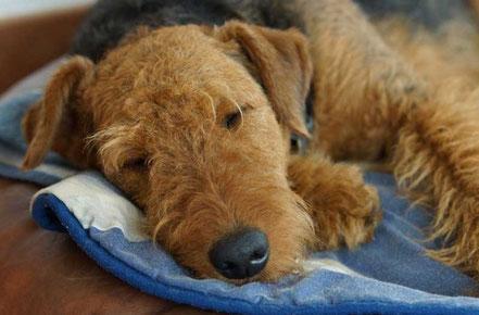 Bepina vom Juratal, beim Beobachten der Welpen kurz in Mamas Hundebett eingenickt