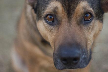 ein Hund schaut in die Kamera. Er hat eine schwarze Nase und braune Augen. das Fell ist hellbraun.