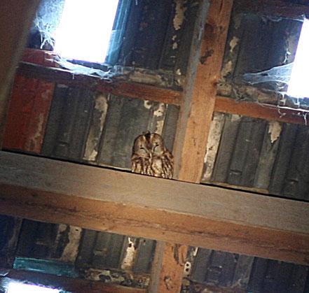 Waldkauz im Dachstuhl einer Scheune