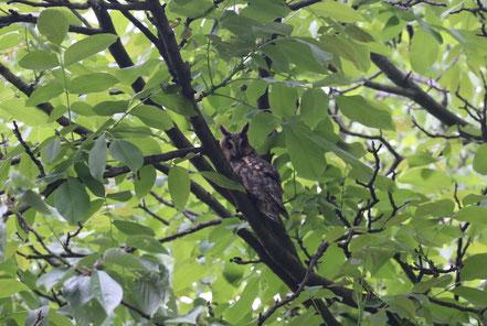 Waldohreule in einem Nussbaum