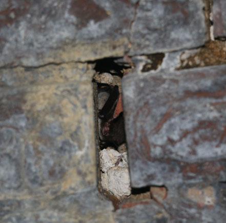 Wasserfledermaus in einer Mauerfuge