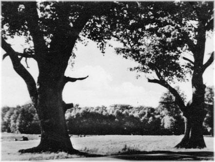 Die Eichen an der Byhleguhrer Chaussee, 1950er Jahre. ( M.Kiebler )