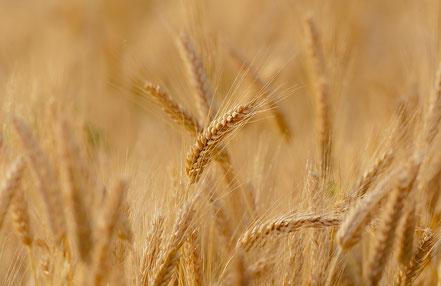Weizen, Weizenfeld