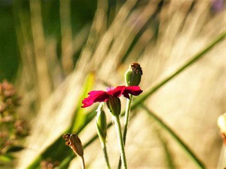 Die Kronen-Lichtnelke (Silene coronaria) leuchtet mit ihrer intensiven Blütenbarbe vor dem hellen Braun der Gräser.