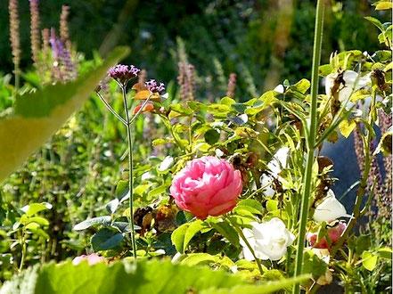 Rosa 'Leonardo da Vinci', eine weiße Glockenblume (Campanula persicifolia) und Verbena bonariensis im Herbstbeet. Im Hintergrund sind auch noch ein paar verblühte Ähren von Salvia nemorosa 'Ostfriesland' zu erkennen.