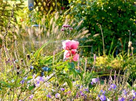 ... im Unterwuchs in blau-lila letzte Herbstblüher wie o.g. Storchschnabel, Salbei (Salvia nemorosa 'Ostfriesland'), Katzenminze und Kissenastern.
