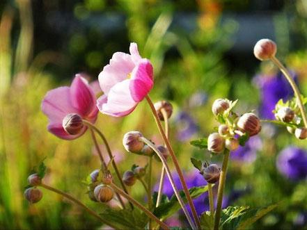 Herbstanemonen (Anemone japonica 'Rosenschale')