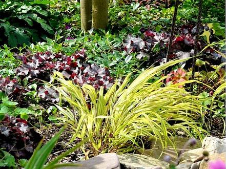 Vor dem dunkelroten Laub eines Purpurglöckchens (Heuchera) und dem Grün vom Kleinen Immergrün (Vinca minor 'Atropurpurea') leuchtet das gelbe Laub vom Japanwaldgras (Hakonechloa macra 'Aureola').