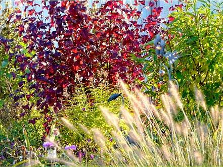 ... und den hellen Ähren des Lampenputzergrases (Pennisetum alopecuroides 'Hameln').