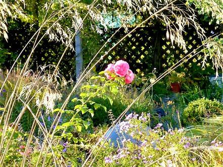 Auch die Rose (R. 'Leonardo da Vinci') schiebt bis zum Frost immer wieder Blüten. Über ihr: Ähren vom Riesen-Federgras (Stipa gigantea)...