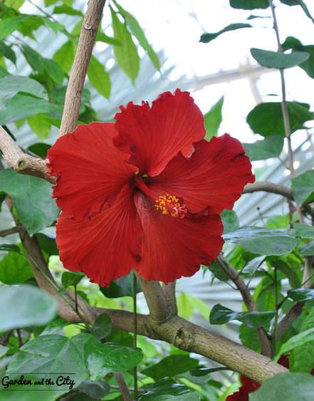 Fleur d'hibiscus rouge au Parc Phoenix à Nice