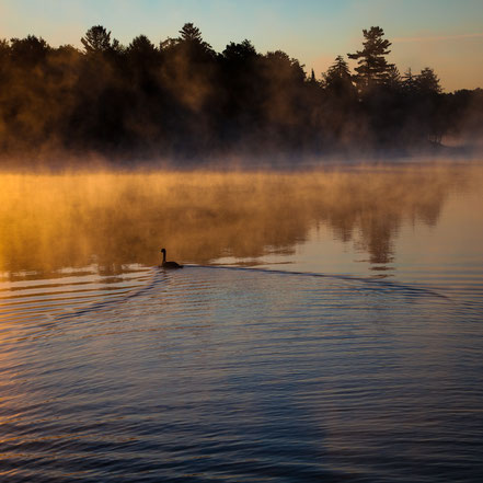 Goose in the Mist on Old Forge Pond - Old Forge, NY - ADK0023