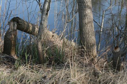 Biber Baum