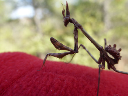 Empusa pennata ou diablotin provençal mâle - Divajeu