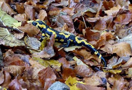 Salamandre tachetée - Pas du renard - Ausson
